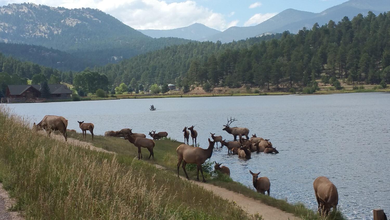 Elk Swimming in Evergreen Lake